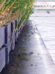 低水護岸のカニ